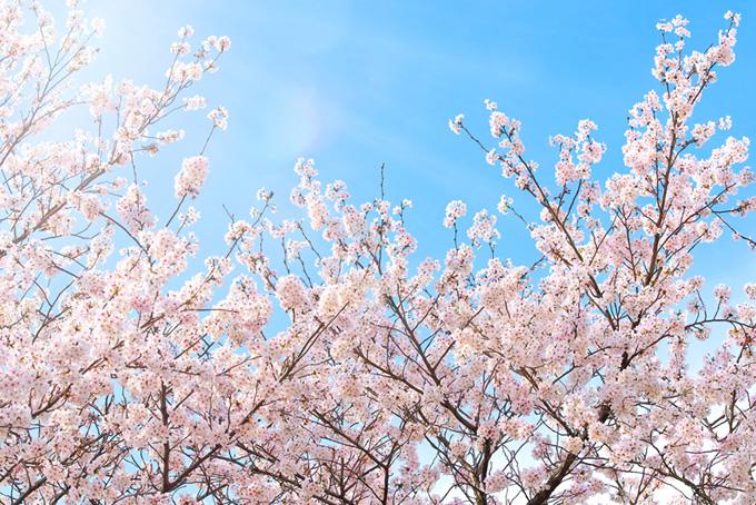 穏やかな陽射しと花開く桜(桜 綺麗の画像)