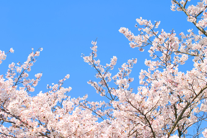 染井吉野と青空の背景(桜 綺麗の画像)