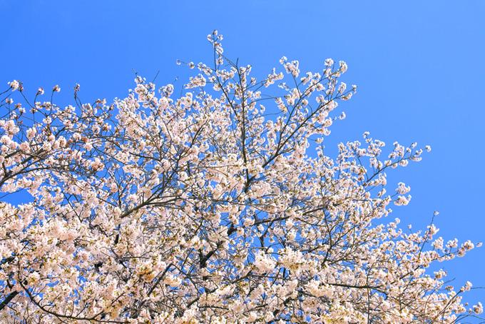 ソメイヨシノと青空(桜 壁紙の画像)