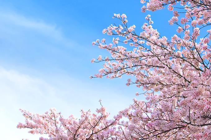 ピンクの桜と青空に滲む雲(桜 綺麗の画像)