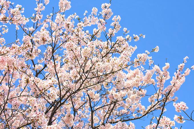 花開く桜と澄み渡る空(桜 綺麗の画像)