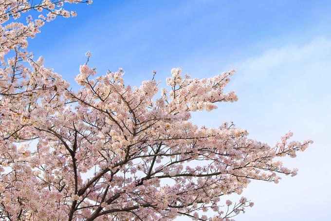 桜と青のグラデーション(桜 雲の画像)
