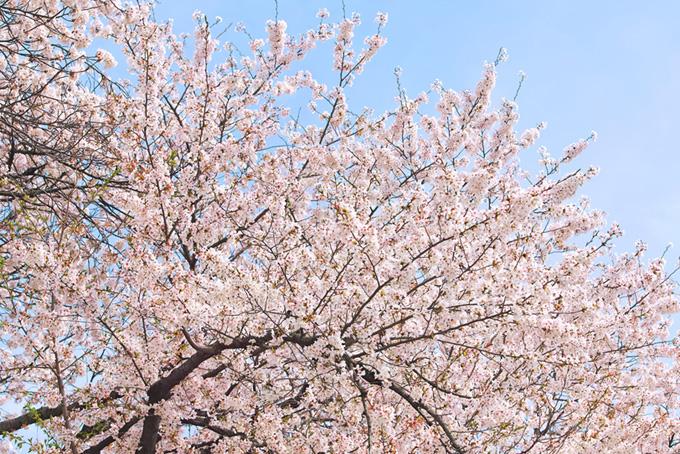 桜と青空(桜並木の背景フリー画像)