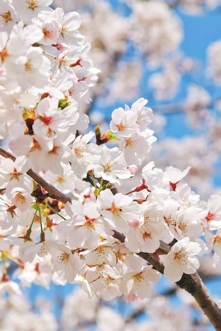 純白のさくらの花(桜 待ち受けの画像)