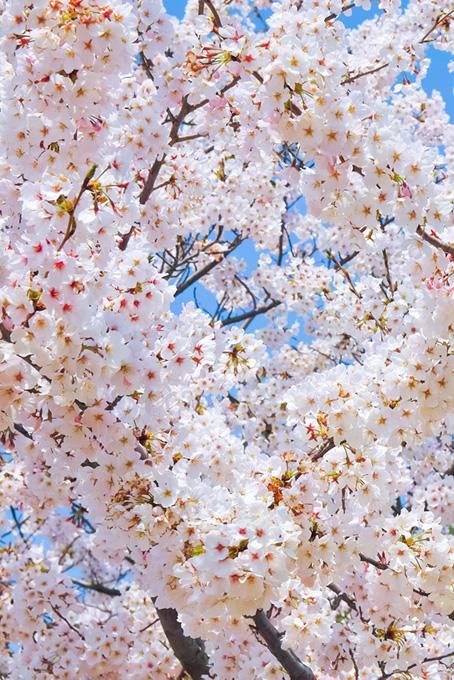 可愛い桜と青空の背景(桜 待ち受けの画像)
