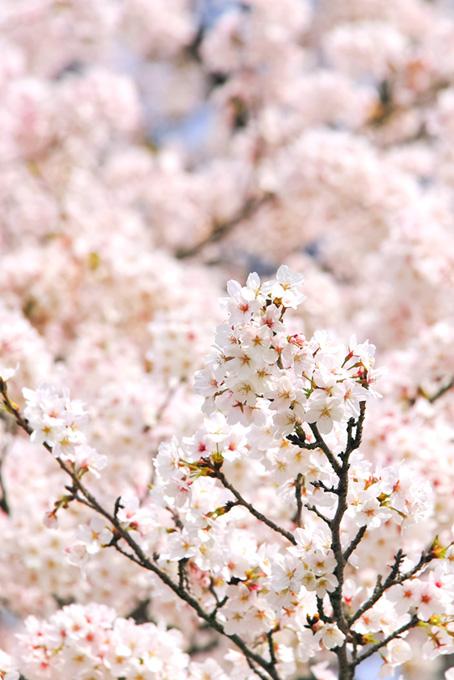 薄紅色のさくらの花(桜 待ち受けの画像)