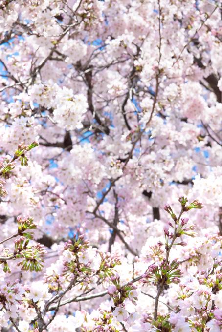 桜の花びらの写真