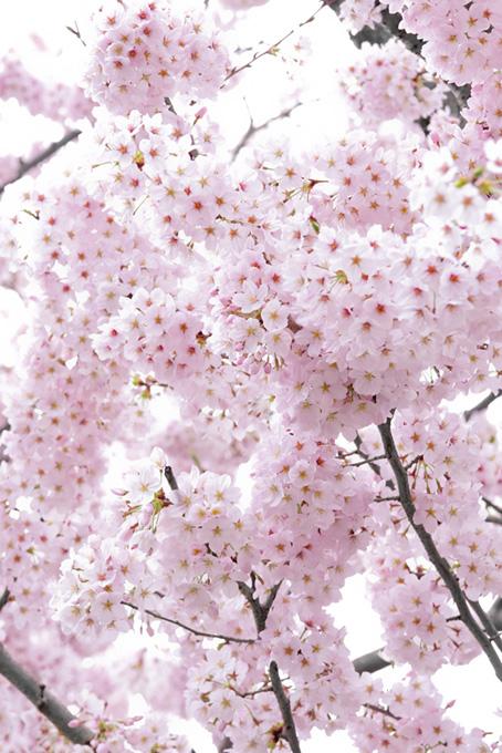 淡いピンクの桜と白背景(桜 満開の画像)