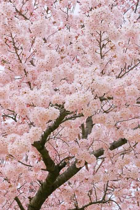 満開の桜の木(桜 満開の画像)