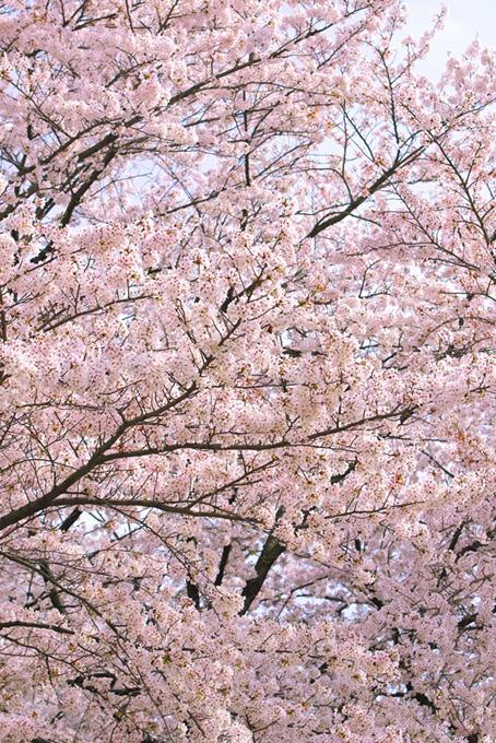 満開の枝を空に伸ばす桜(桜 満開の画像)
