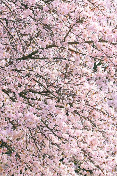 春に咲く美しい桜の花(桜 満開の画像)