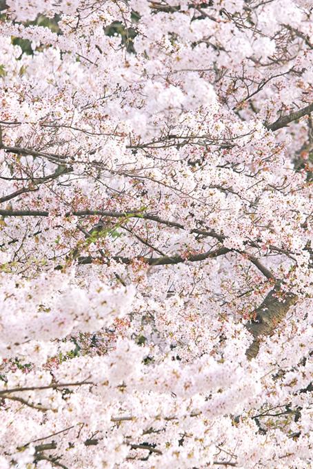 辺り一面の純白の桜の花(桜 満開の画像)