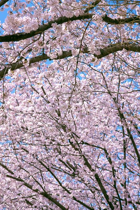 桜が咲く春(桜 縦の画像)