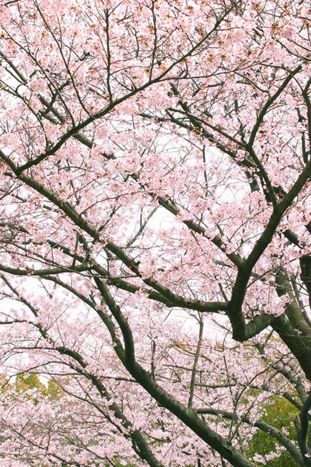 白い空に花を咲かす桜(桜 風景の画像)