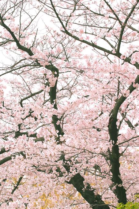 桜花咲く桜の和風景色(桜 風景の画像)