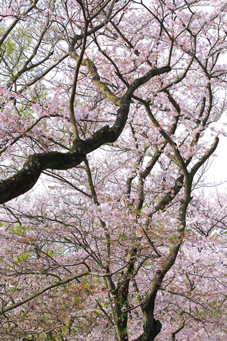 花桜と葉桜の風情ある景観(桜 風景の画像)