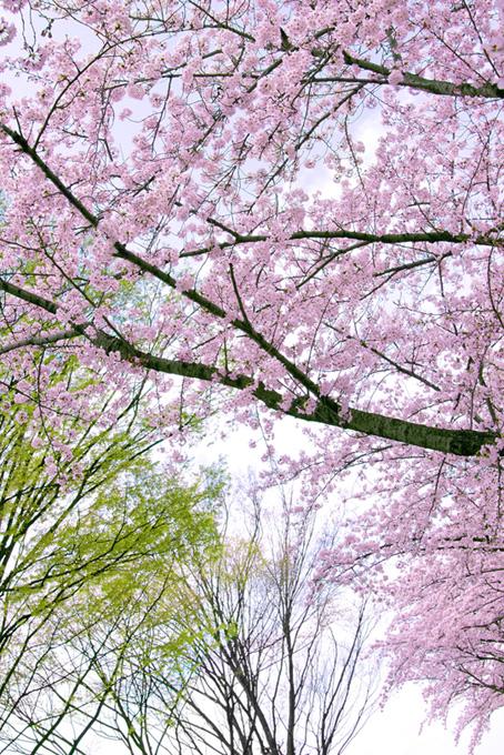 ピンクの桜と新緑の木(桜 風景の画像)