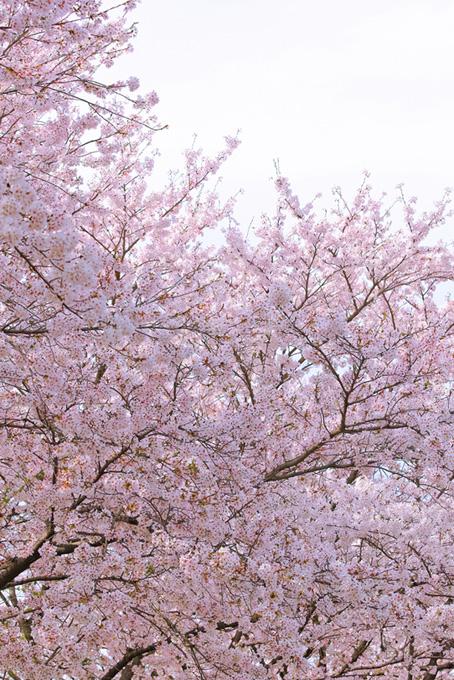 淡い光に包まれる桜(桜 風景の画像)