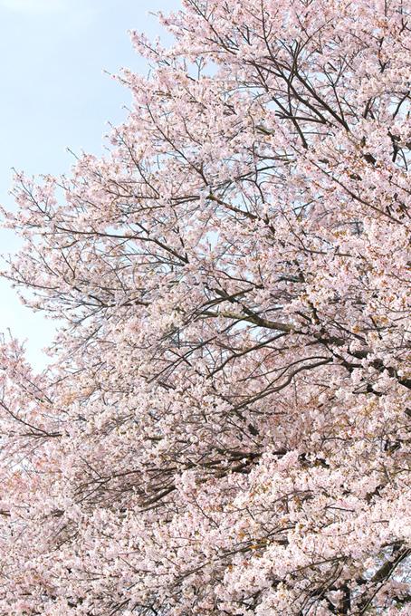 美しい桜と春の霞空(桜 風景の画像)
