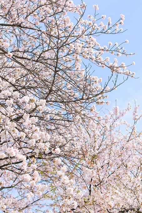 桜の白い花と霞む空(桜 風景の画像)