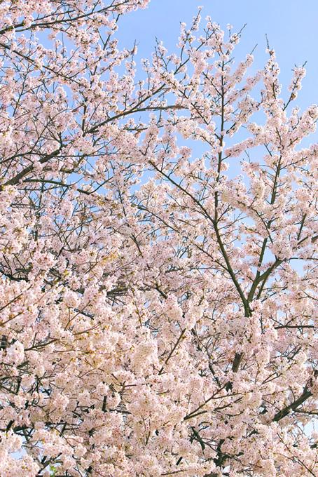 花と蕾の枝が空に伸びる(桜 風景の画像)