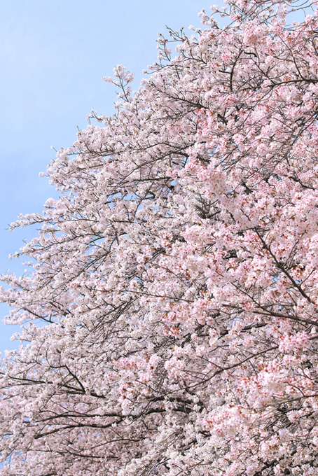 桜満開の桜が咲く春の空(桜 風景の画像)