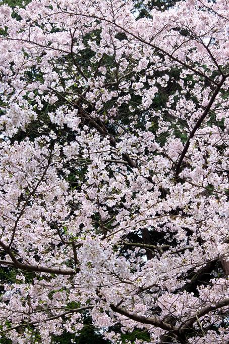 桜が咲く春の写真