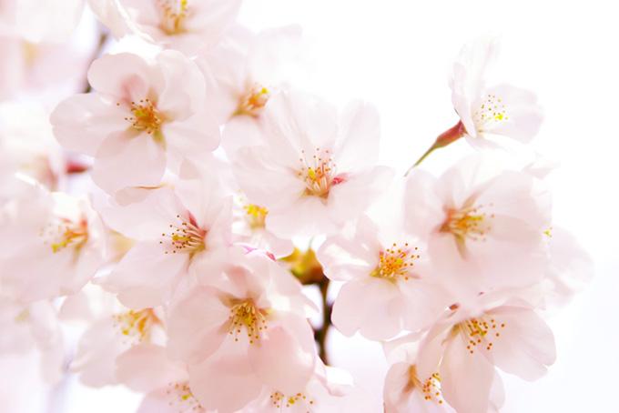 桜の花びらと白背景