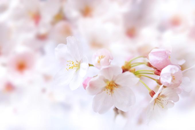 桜の花とつぼみ
