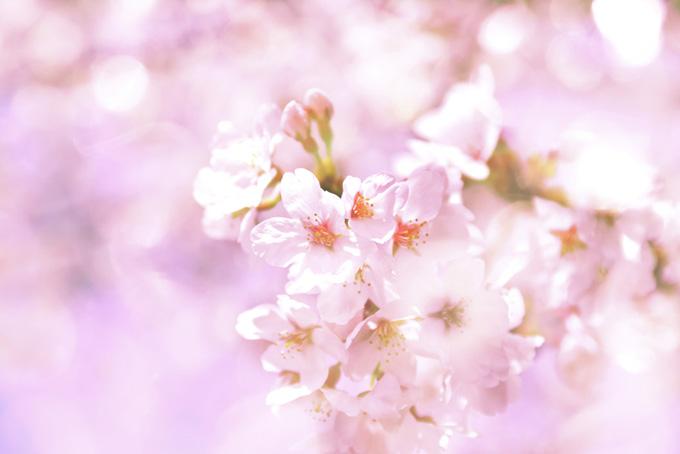 ピンクの桜の花の背景