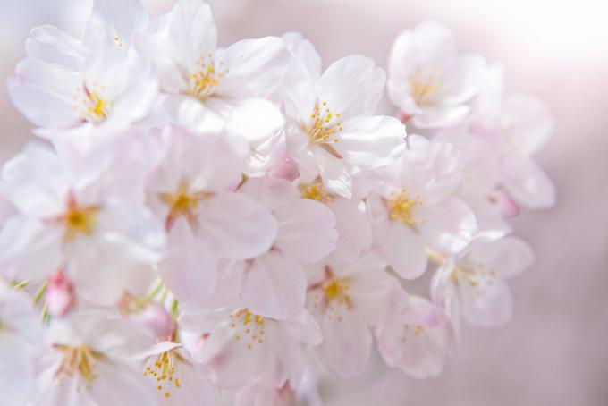 光に包まれる桜の花