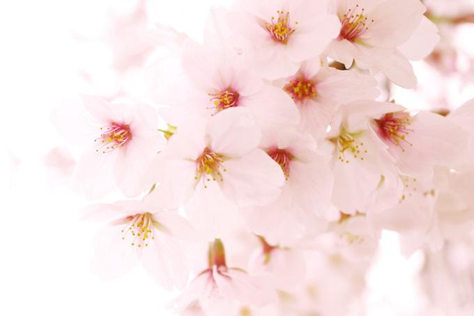 白い桜の背景