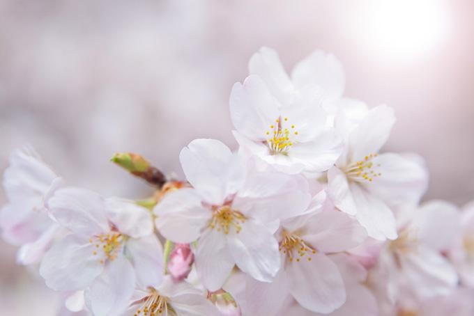 太陽の光と桜の花びら