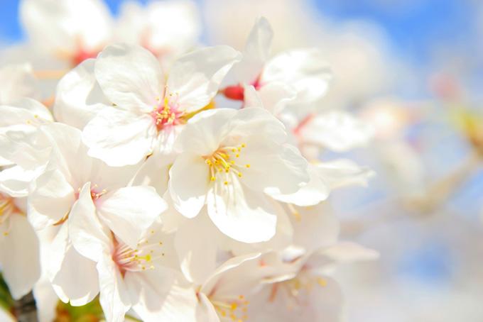 空と白い桜の花びら
