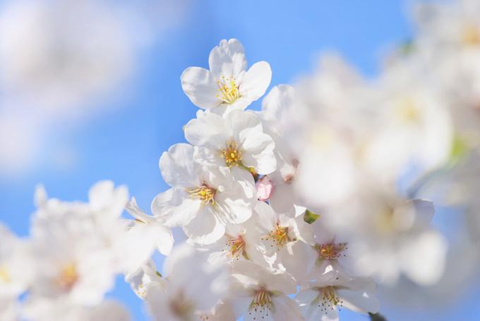 青空に咲く白い花