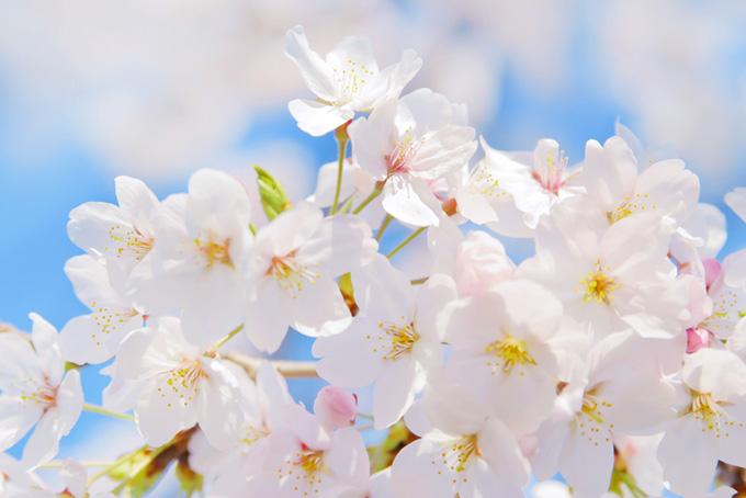 満開の白い桜の花びら