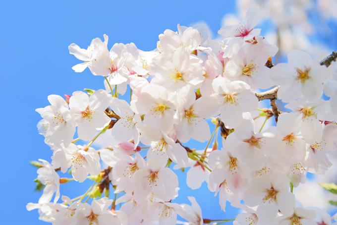 桜の花と空