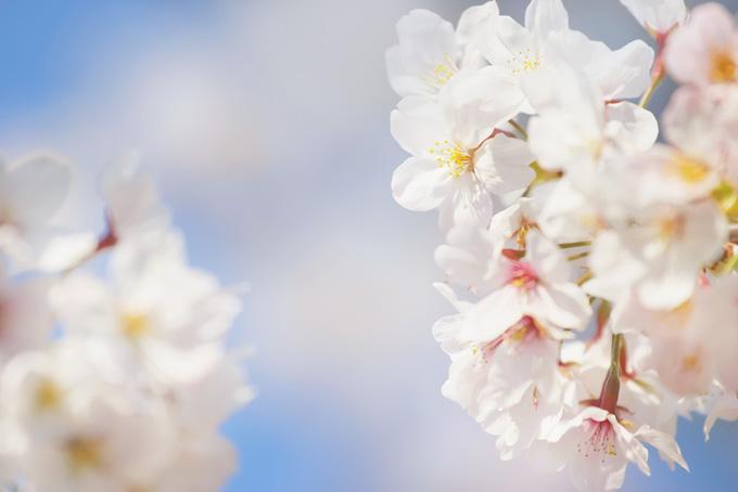 桜の花びらと空