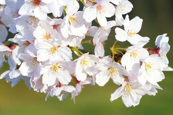 新緑と桜の花