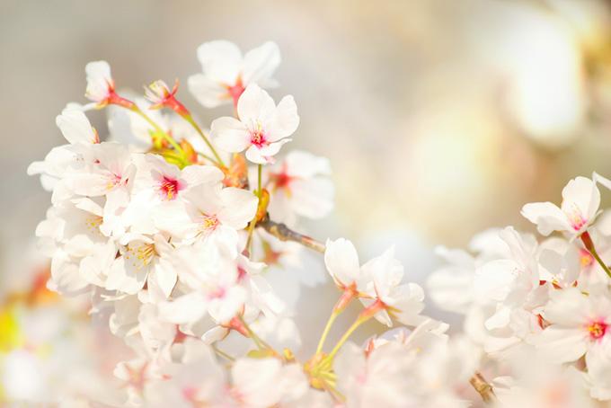染井吉野の白い花