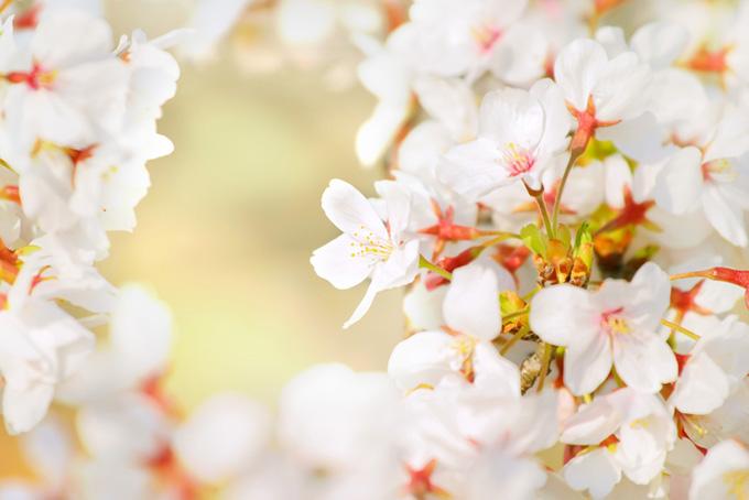 陽に透ける桜の花