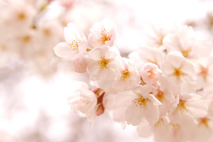 光に透ける白い桜の花びら