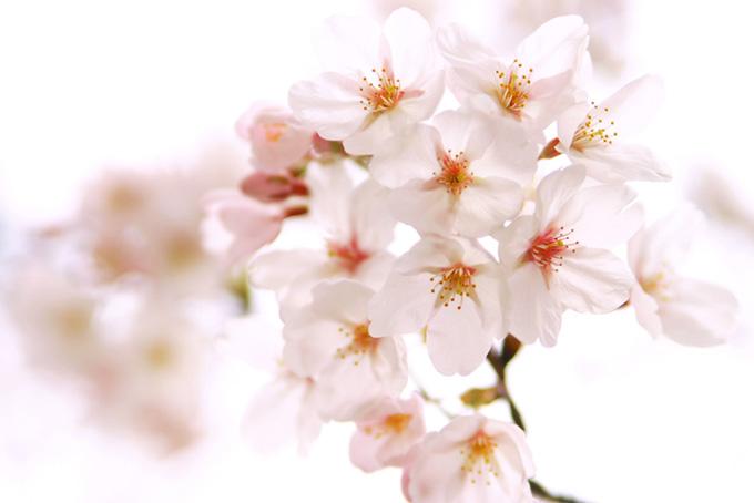 白い桜の花の背景