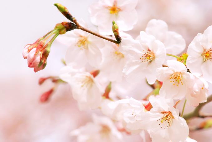 薄いピンク桜の花とつぼみ