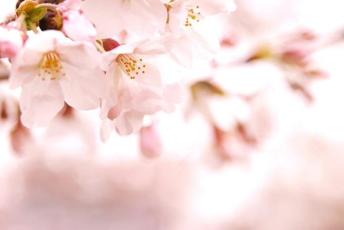 桜の花と蕾