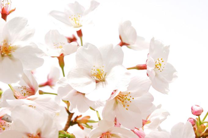 桜の花びらとピンクの蕾