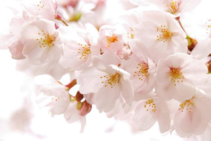 満開のサクラの花びら