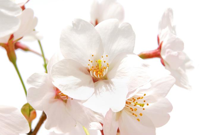 白く大きな桜の花