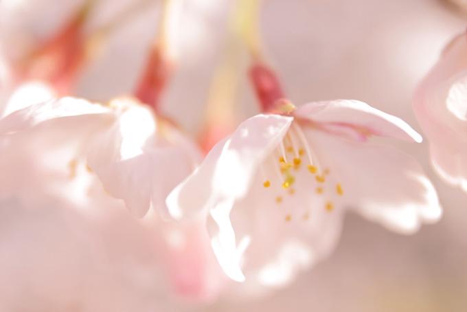 大きな桜の花びら