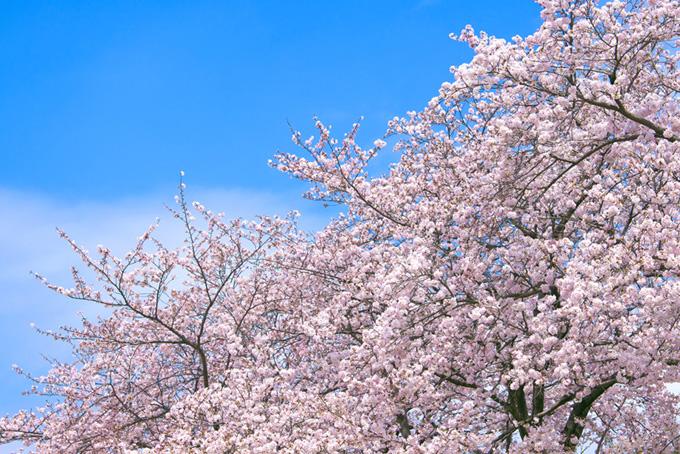ピンクの桜と空(桜 ピンク)